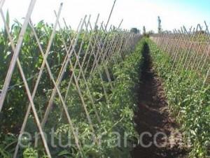 Entutorar hortalizas es una técnica favorable para guiar el crecimiento de la planta