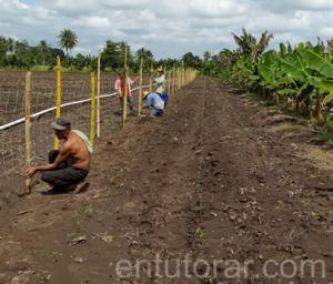 Entutorar los cultivos beneficia su desarrollo