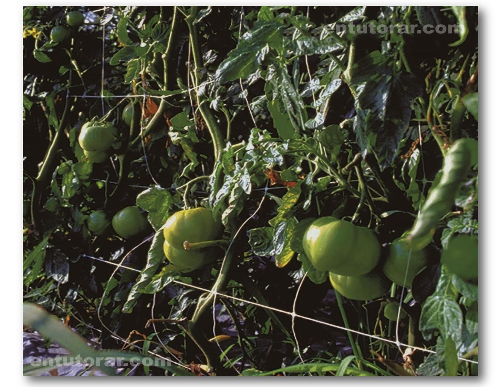 Tutorado en campo abierto con cultivo de tomate.