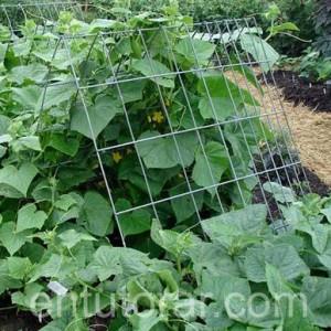 Entutorar los cultivos es una practica que aumenta la calidad de la producción