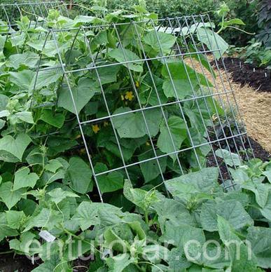 Entutorar pr ctica agr cola conveniente para hortalizas for Plantas hortalizas ejemplos