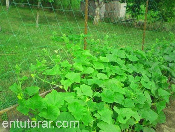Plantas con malla para entutorar HORTOMALLAS.