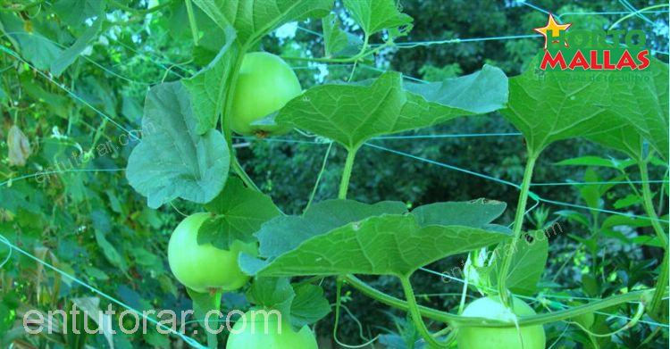 malla tutora en cultivo de calabaza.