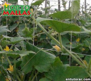 Campo de plantas de pepino y malla espaldera