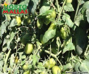 Planta de tomate en campo de cultivo