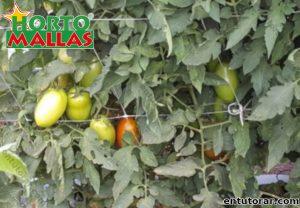 Malla tomatera cubierta por planta de tomate