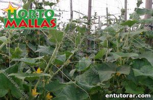 Plantas de pepino entutoradas por malla espaldera